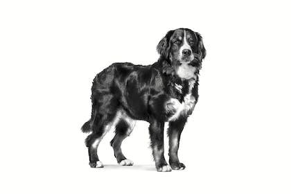 VHN-PACKAGING EMBLEMATIC-ADULT LARGE DOG-VHN TRANSVERSAL PACKAGING CHARTER