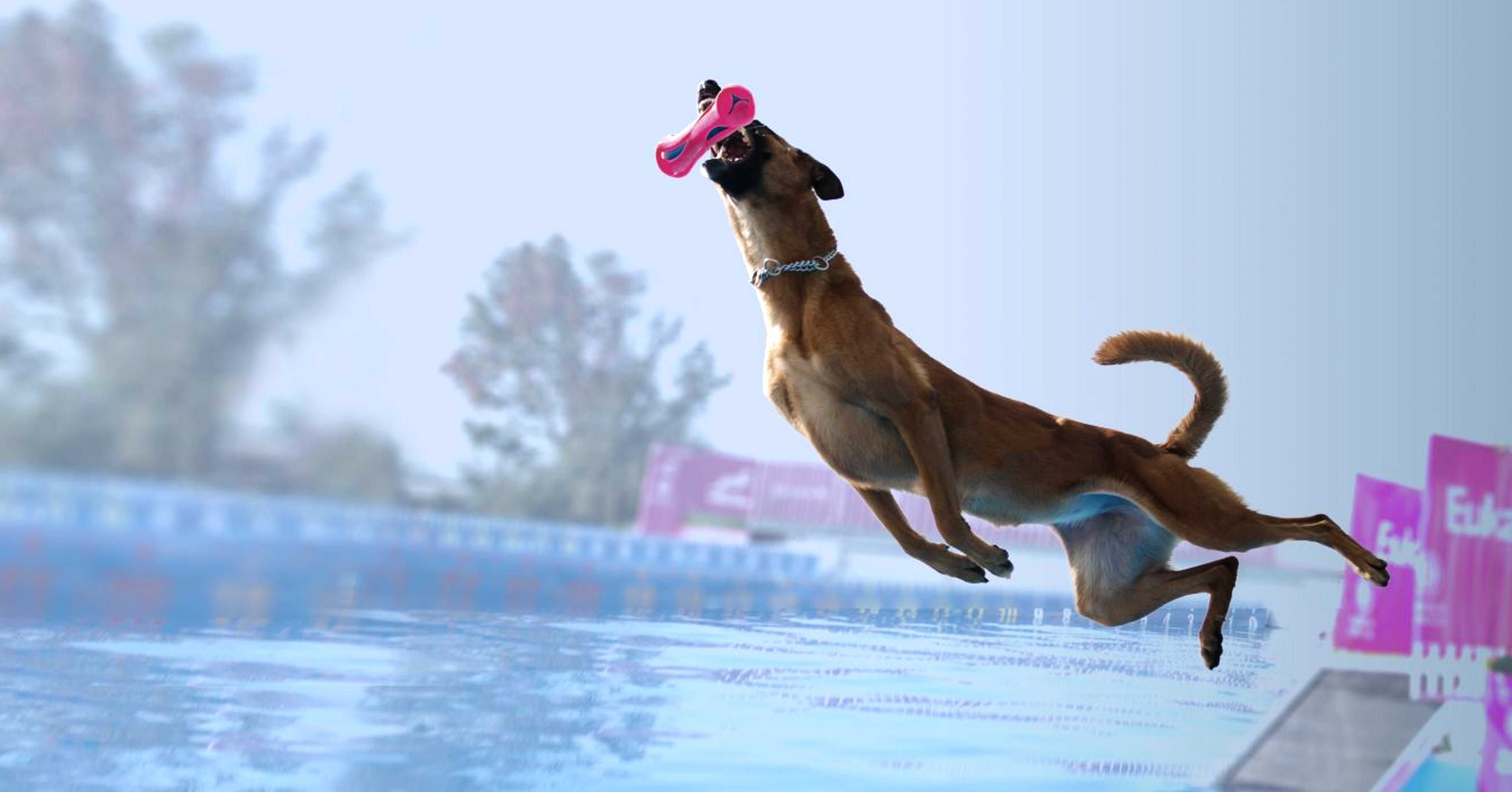 Brown dog launching off a dock to retrieve toy suspended over a pool