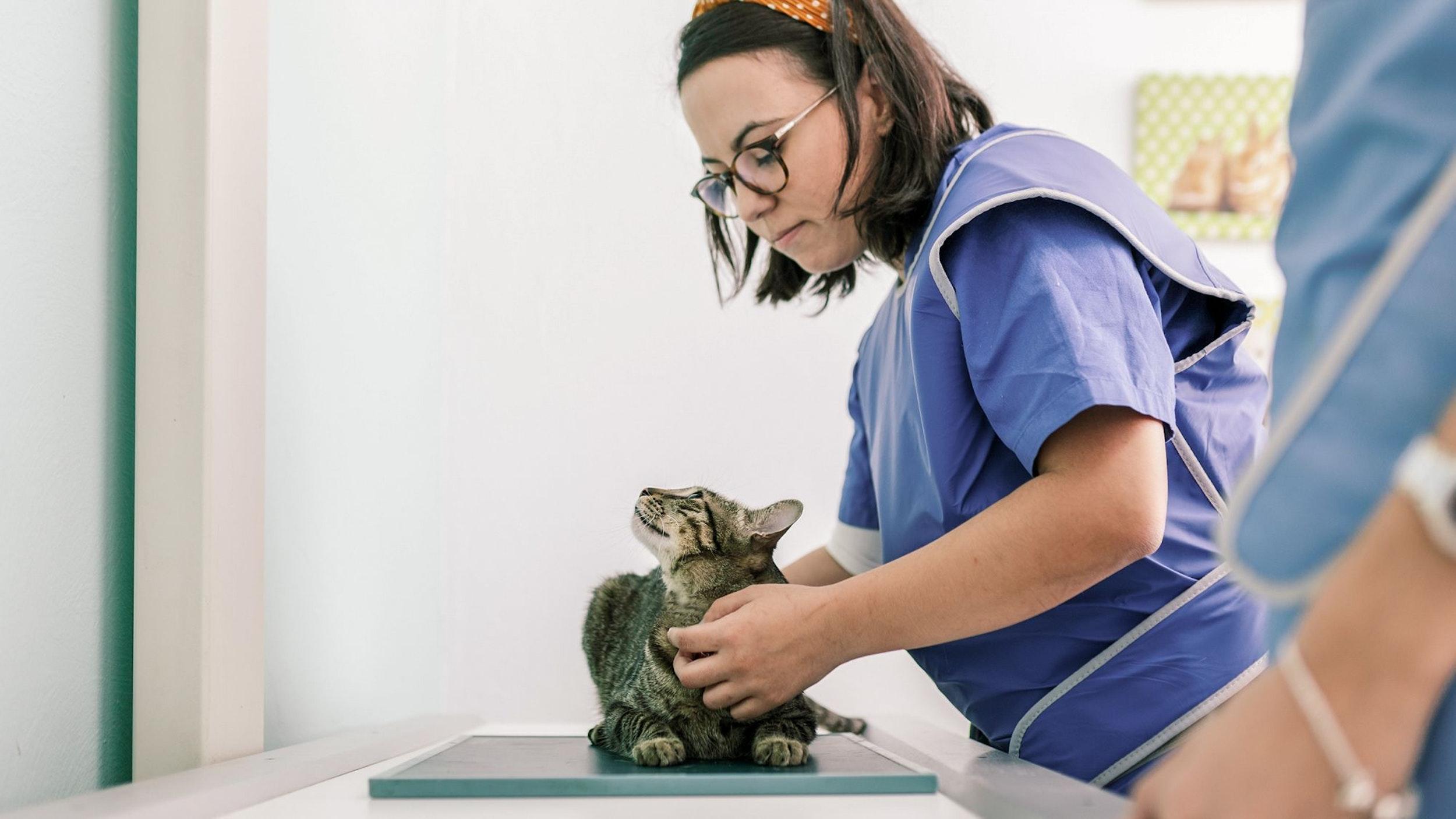 Medic privind către o pisică tabby pe masa de consultație