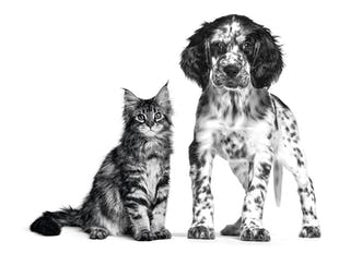Setter and Maine coon