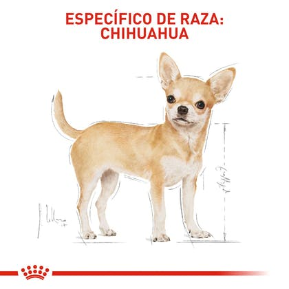 4 - CHIHUAHUA ADULT COLOMBIA