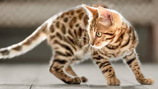 Bengal kitten standing indoors on a wooden floor