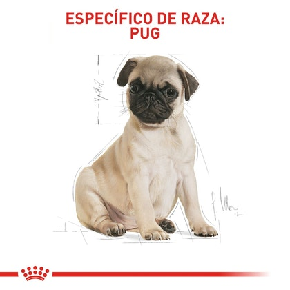 PUG PUPPY COLOMBIA 5