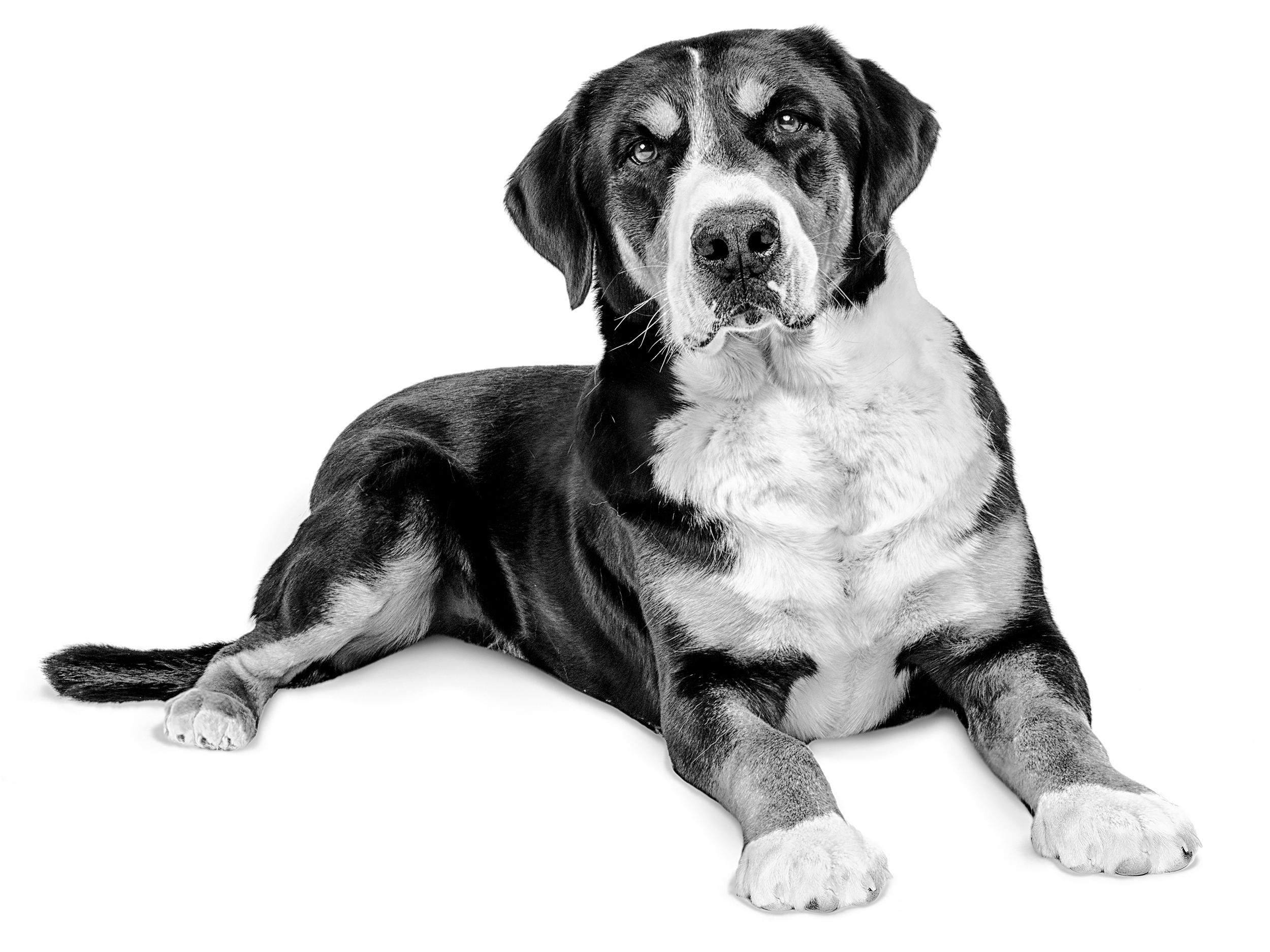 Greater Swiss Mountain Dog - Royal Canin