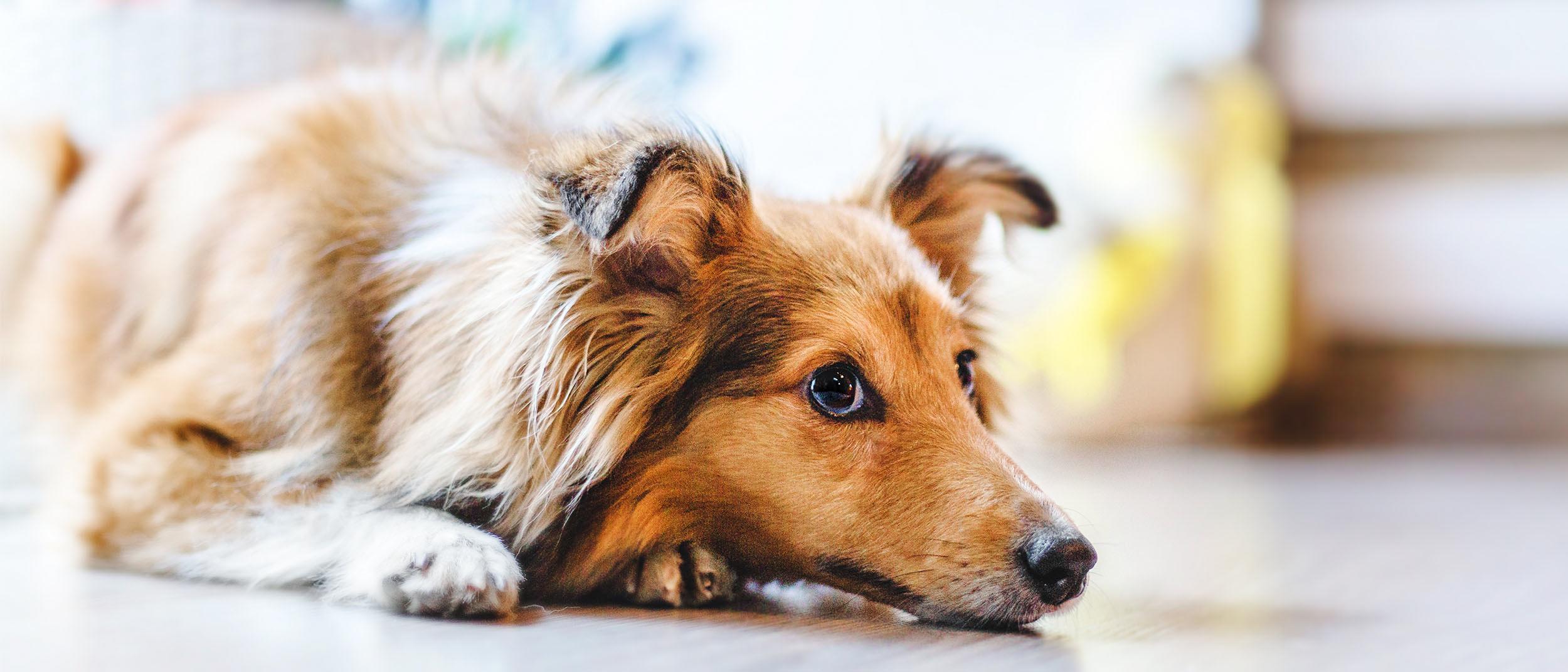 ceguera en perros por diabetes y alcohol