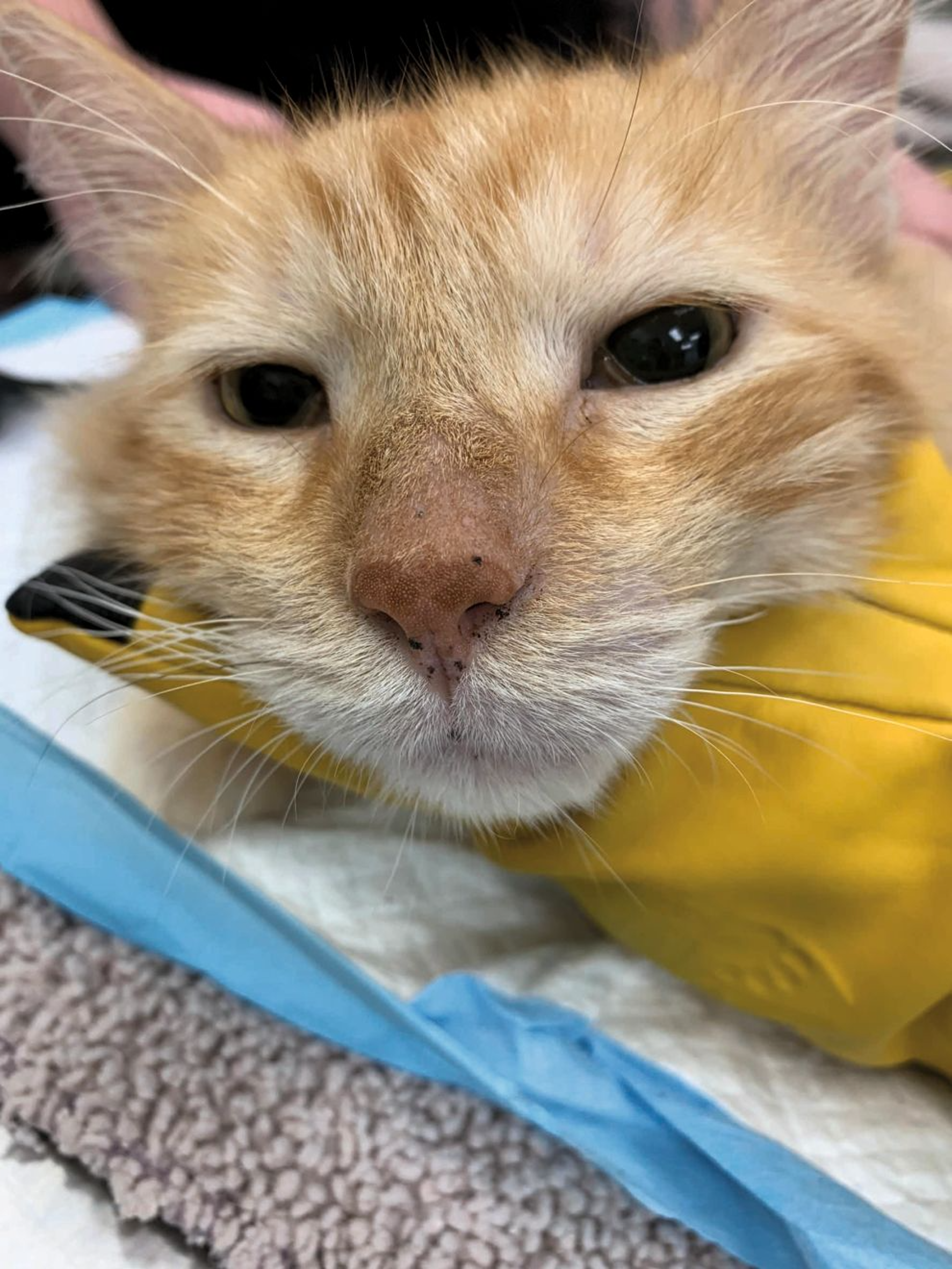 A 5-year-old male neuter DSH cat with small lentigines on the nasal planum, nasal philtrum, and lip margins. The lesions are flat without any erythema or erosion.