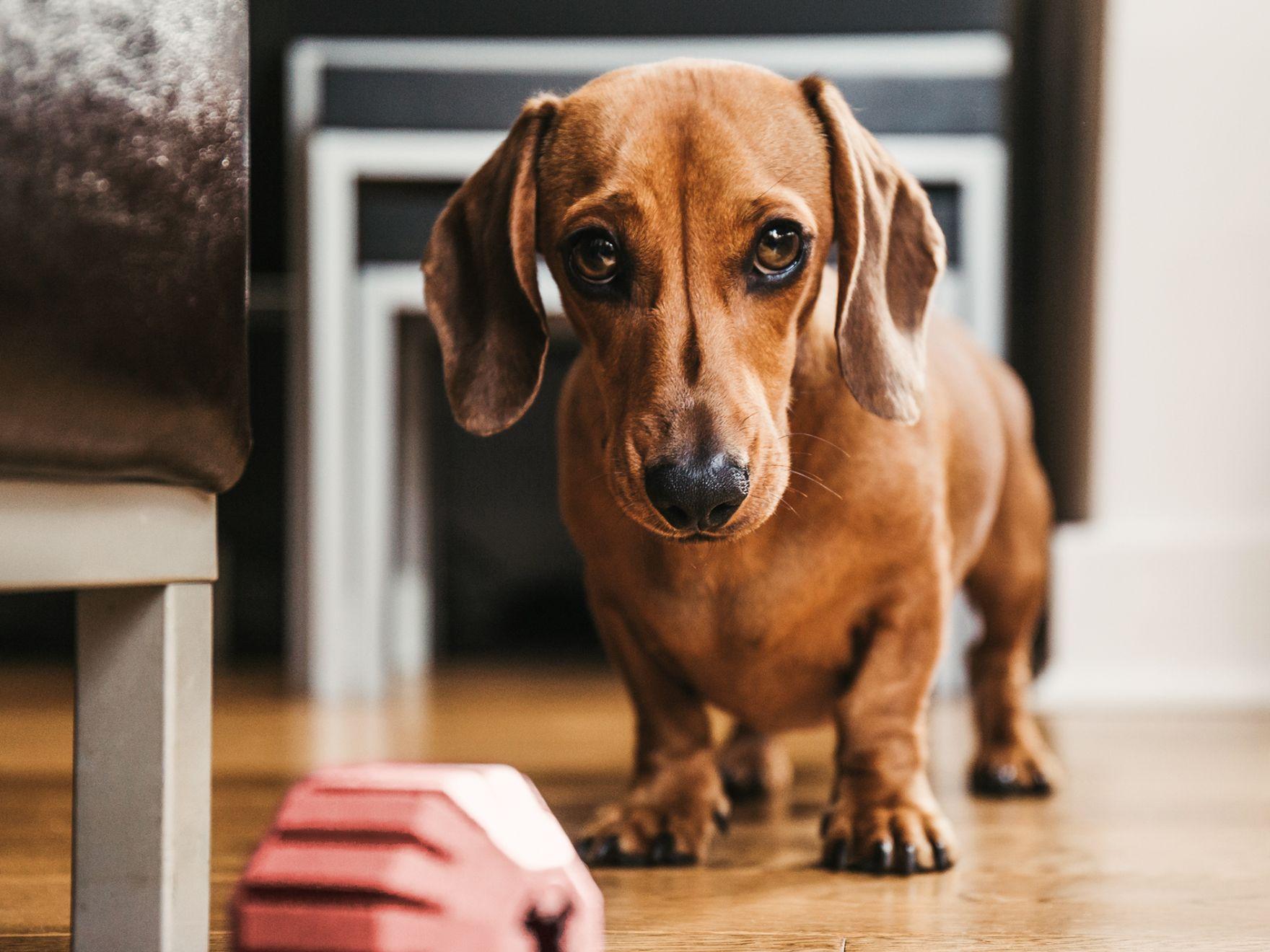 Ajută la puggle să piardă în greutate, PURINA VD Dog OM Obesity Management 12kg