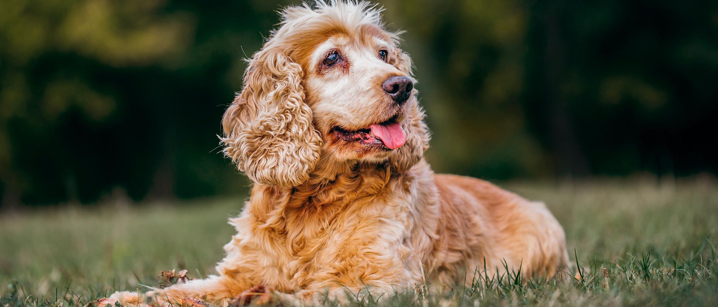 Maladies Courantes Chez Les Chiens Plus âgés Royal Canin