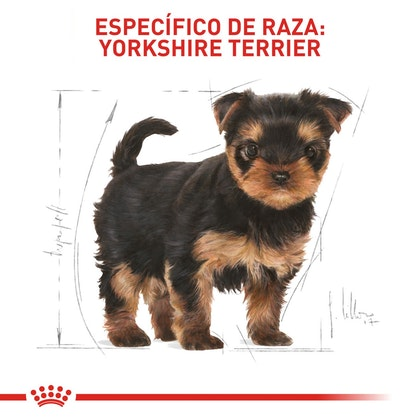 YORKSHIRE PUPPY COLOMBIA 5
