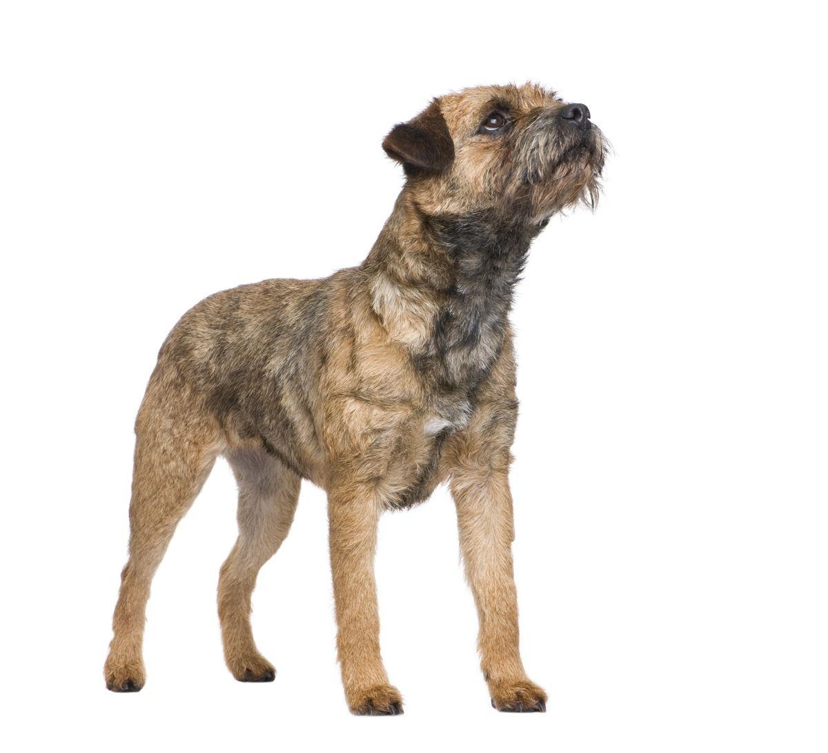 Während einer PGSD-Episode kann ein Hund leer in den Raum starren, ist dabei aber immer noch ansprechbar.