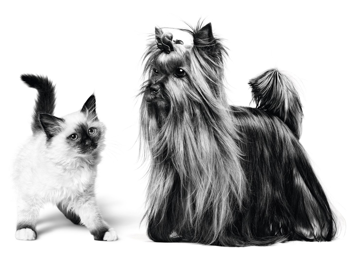 Yorkshire Terrier dog and Sacred Birman cat stood together