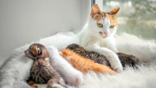 Взрослая кошка лежит с четырьмя новорожденными котятами на белом ковре у окна.