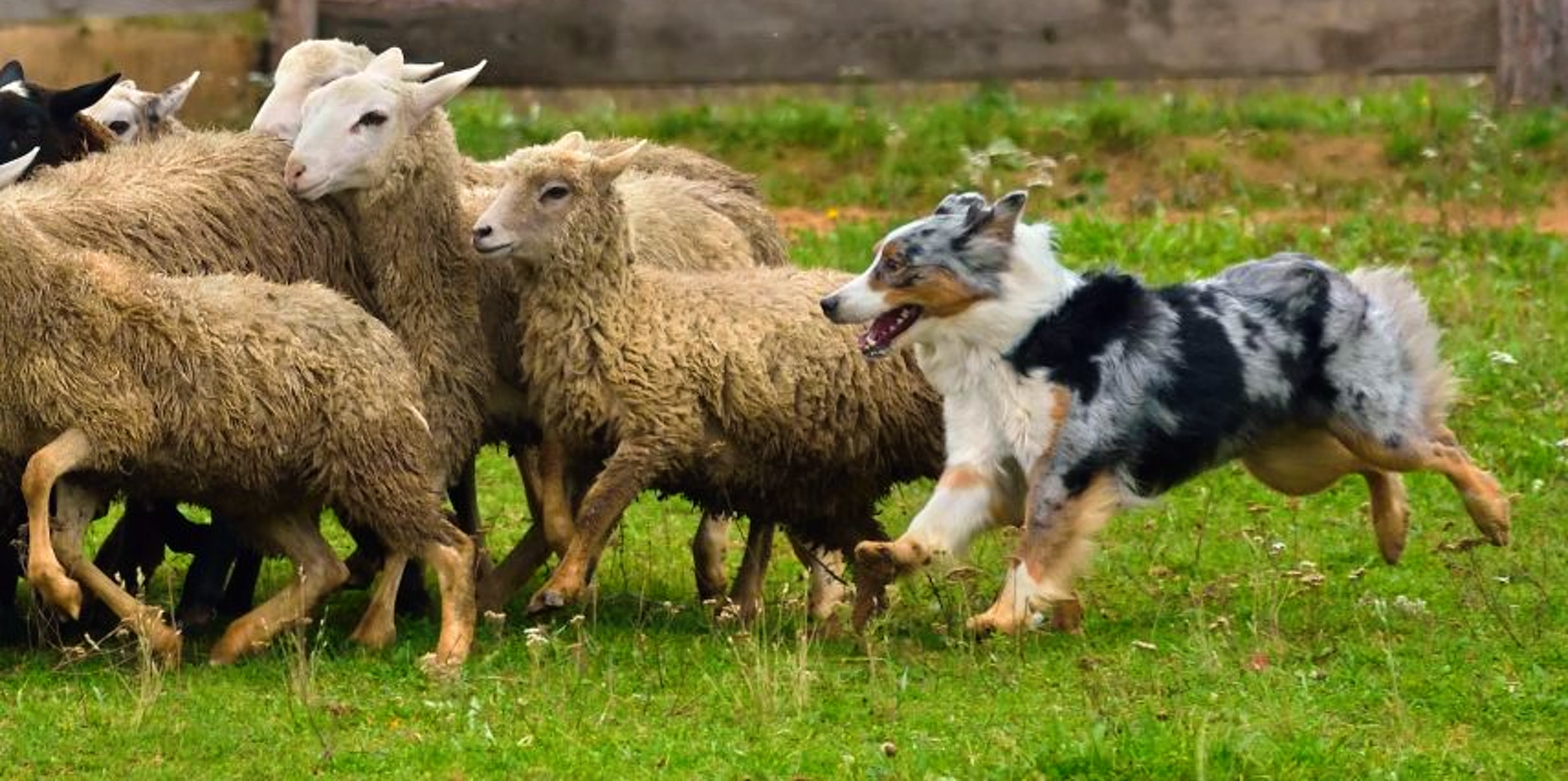 Australian Shepherd herding a group of sheep