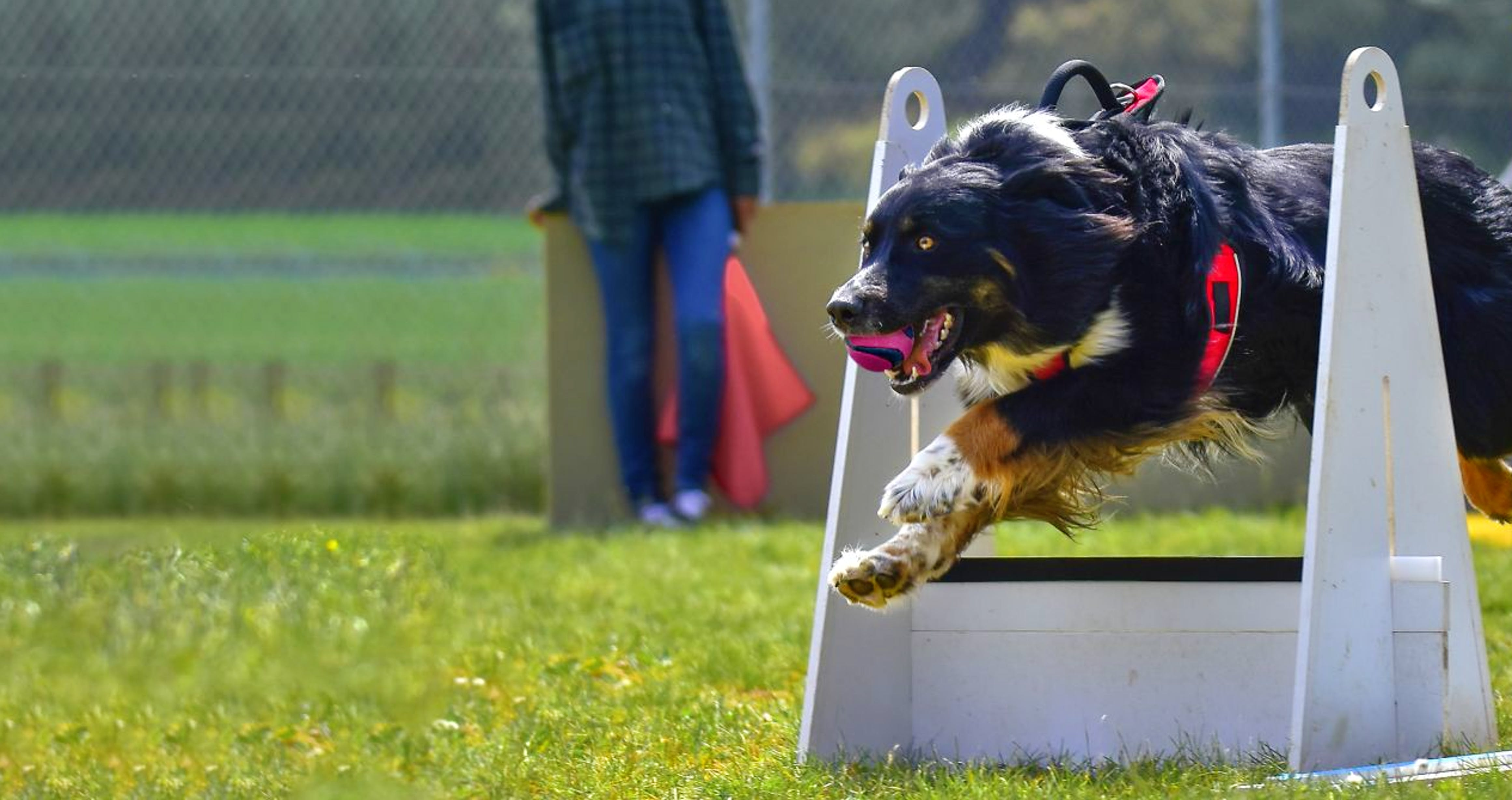 Burmese Mountain Dog jumping over an obstacle during a flyball competition