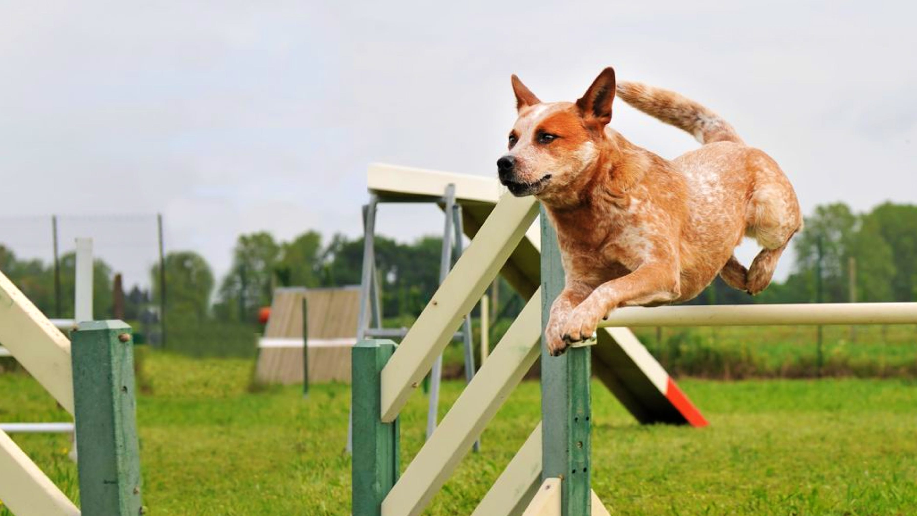 Red Australian Cattle Dog jumping over a hurdle