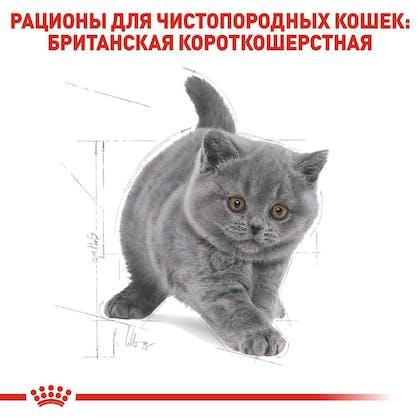 RC-FBN-KittenBritishShorthair_5-RU.jpg