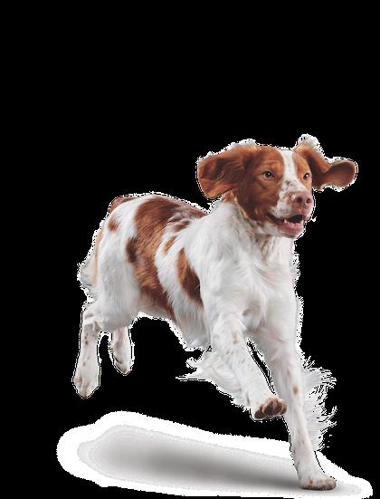 Eukanuba - Adult Medium Breed - Facing Illustration (2019 Restage)