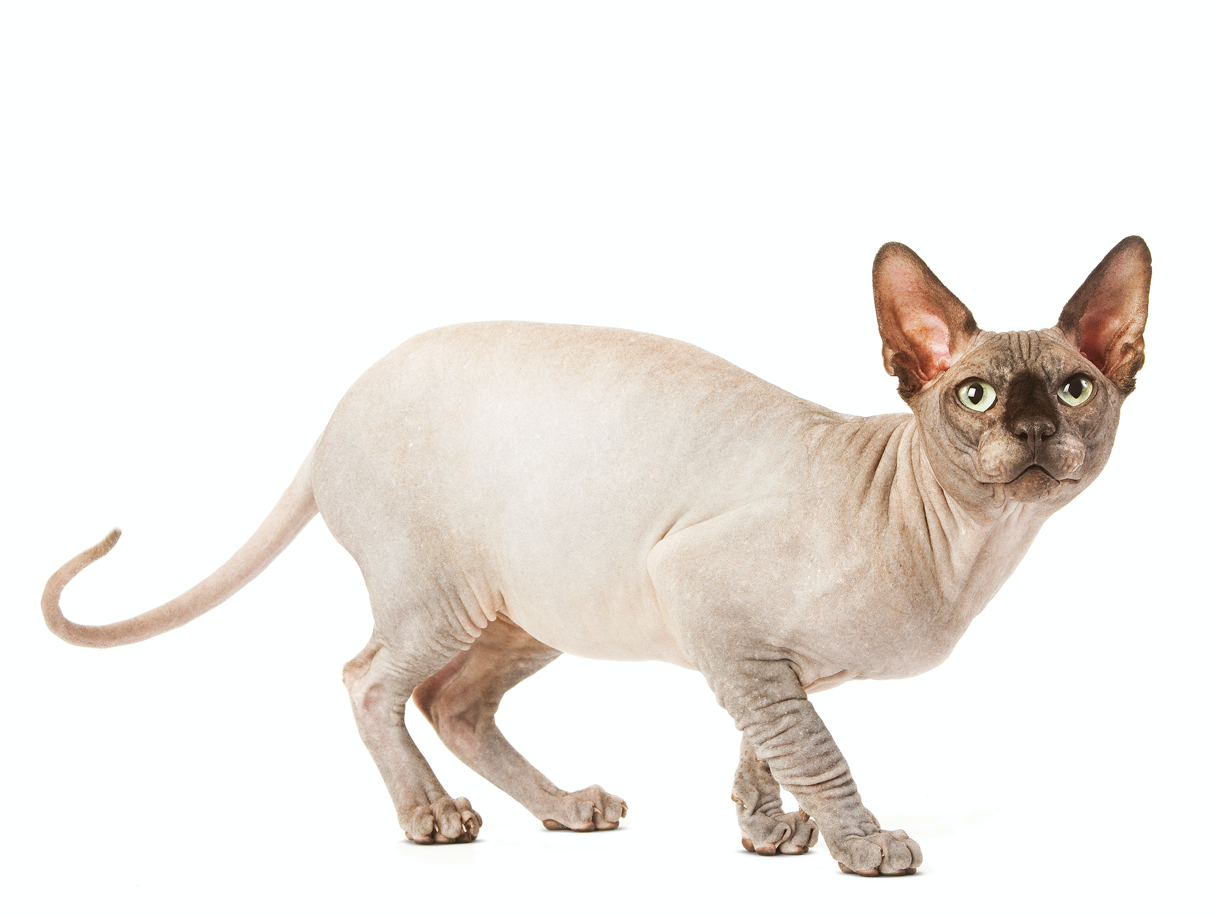 性格 スフィンクス 猫