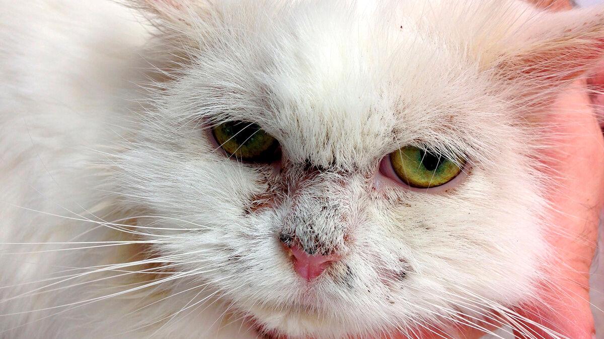 Pemphigus foliaceus bei Katzen