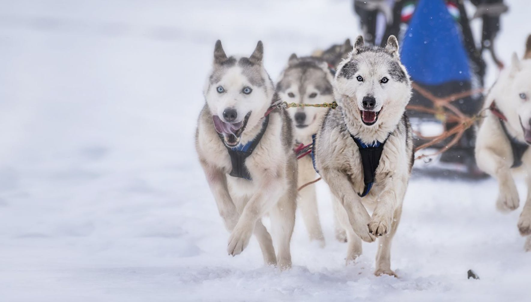 Pack of Siberian Huskies pulling a sled in the snow