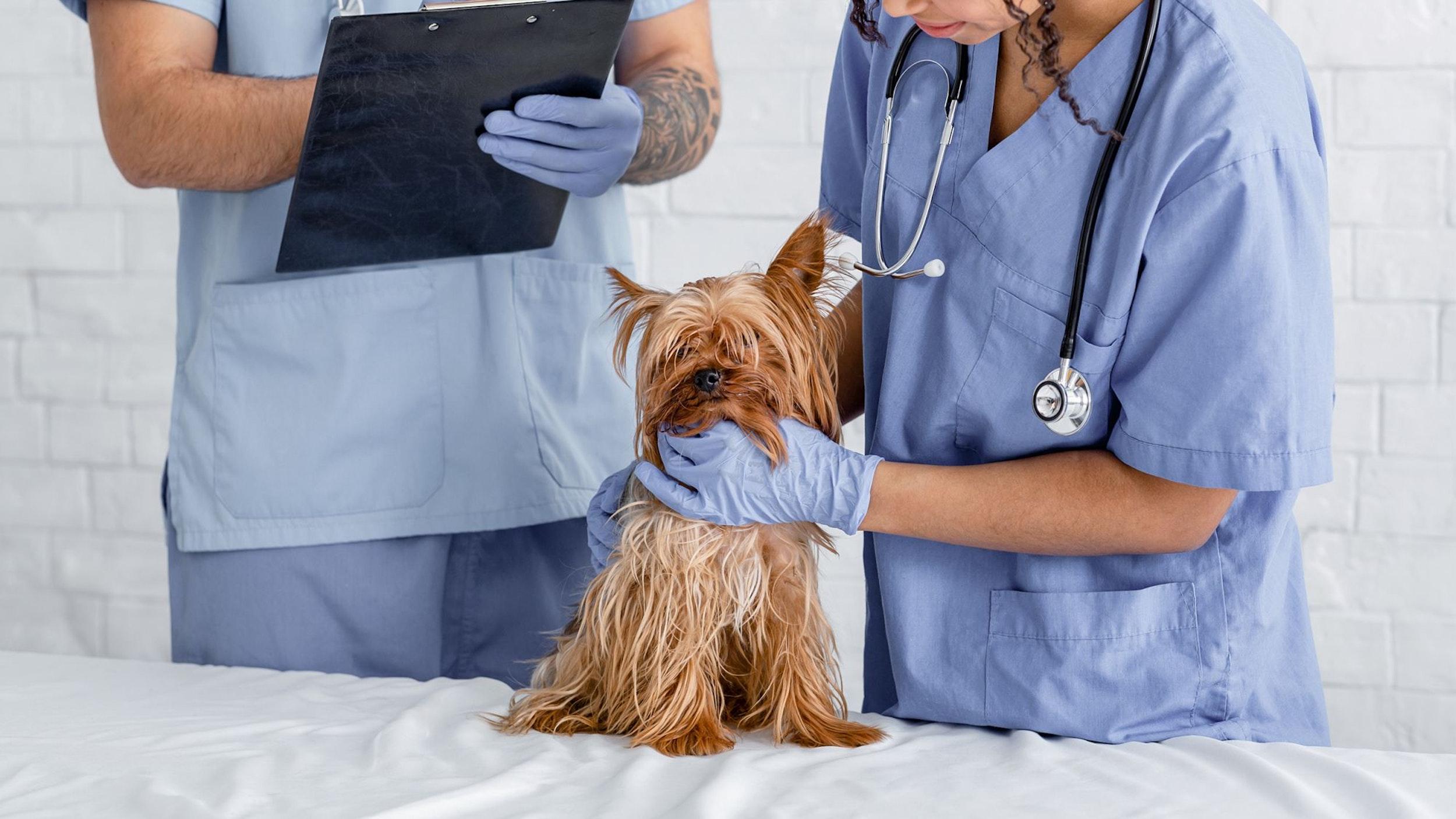 Zwei Tierärztin untersuchen einen braunen Hund.