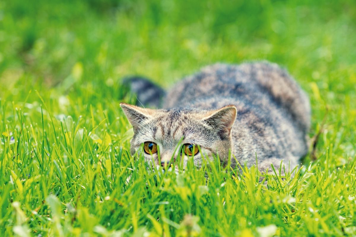 When hunting, a cat will adopt a crouched body posture to make itself less visible before launching an opportunistic predatory strike.