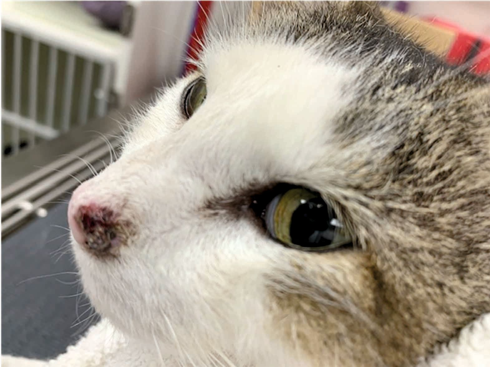 A 10-year-old female spayed DSH barn cat with a one-year history of a lesion on the left bridge of nose and nasal planum. Squamous cell carcinoma was diagnosed on biopsy.