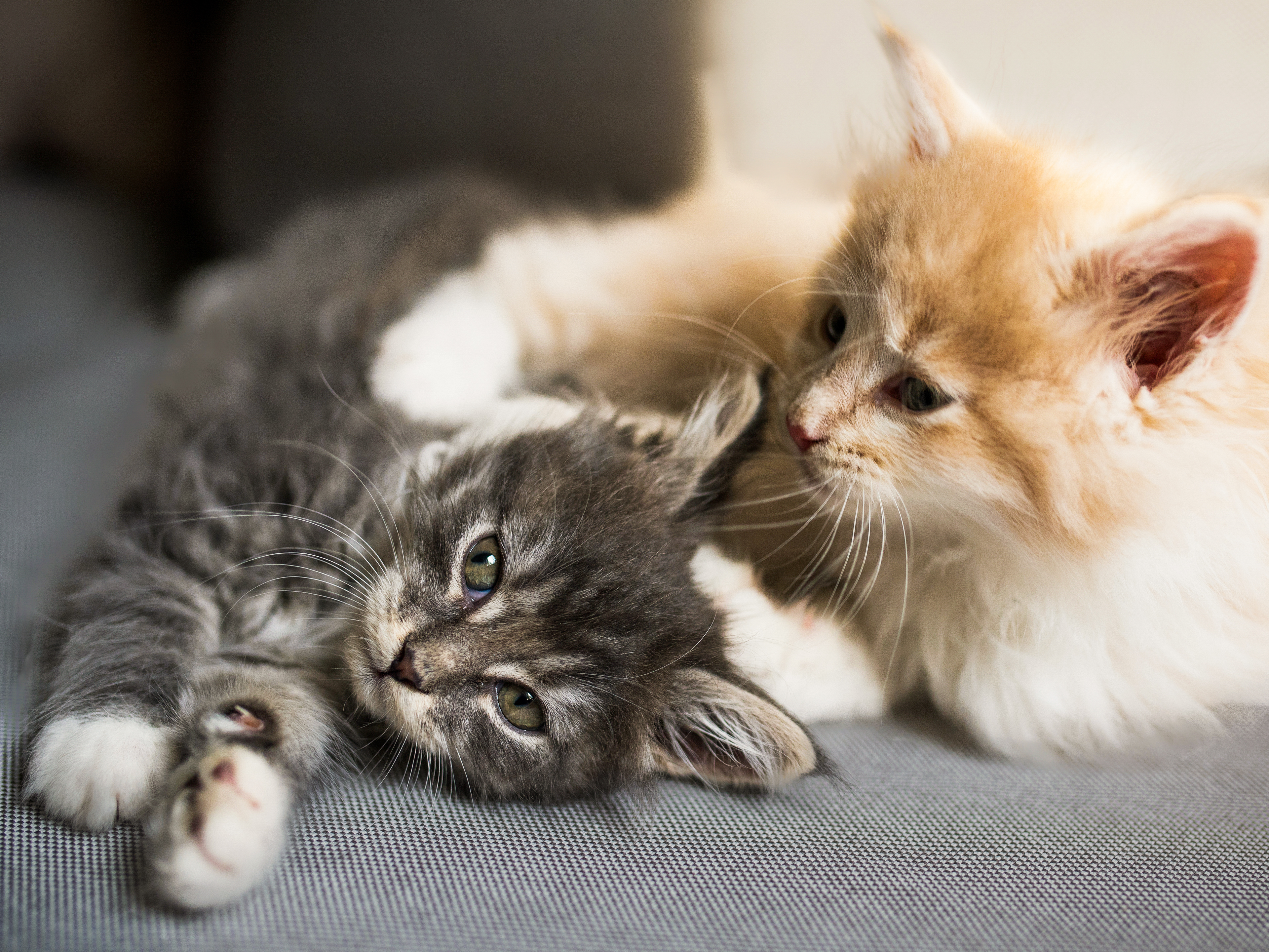 Maine Coon kittens lying down next to each other on a sofa