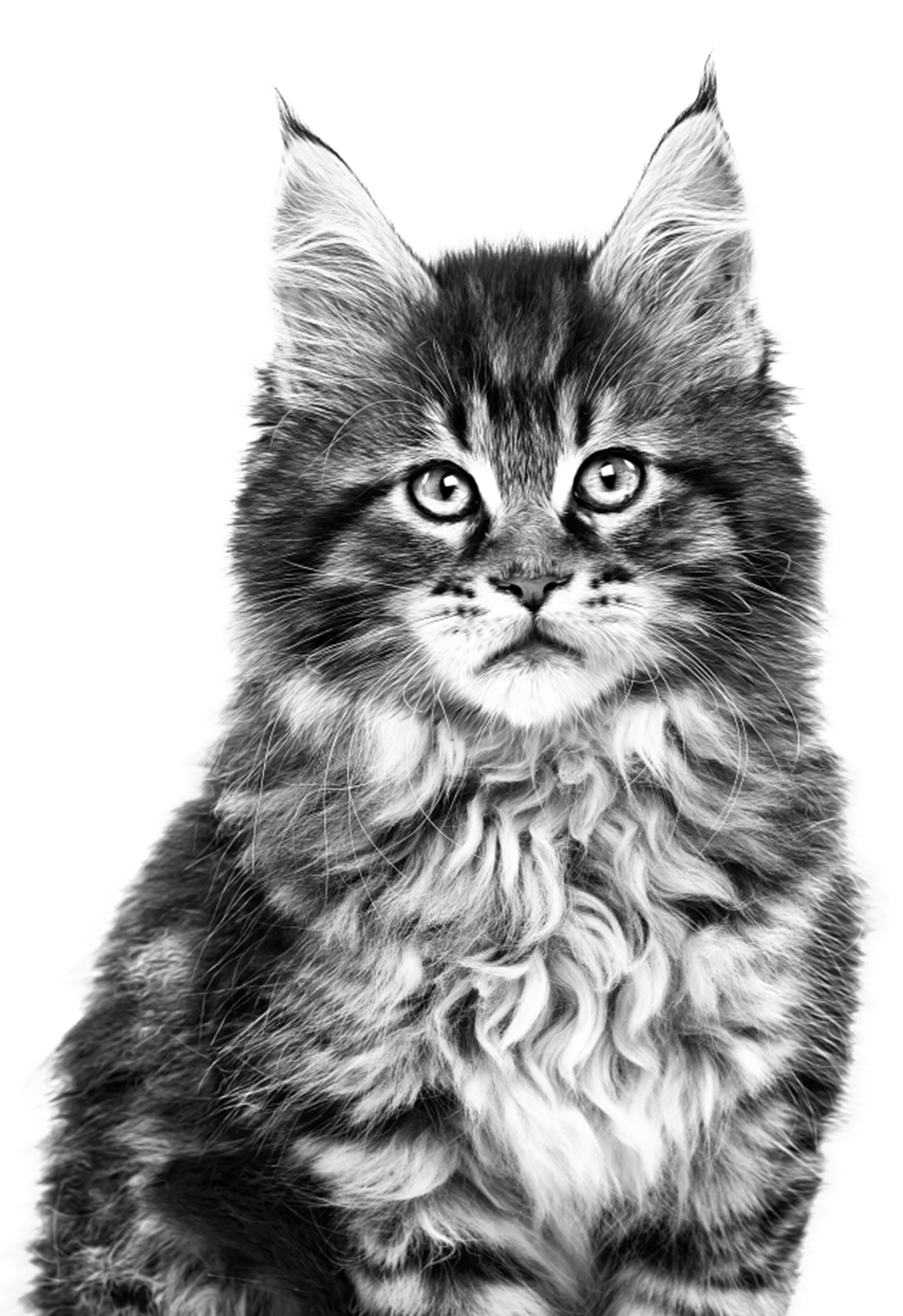 Maine Coon kitten in black and white on a white background