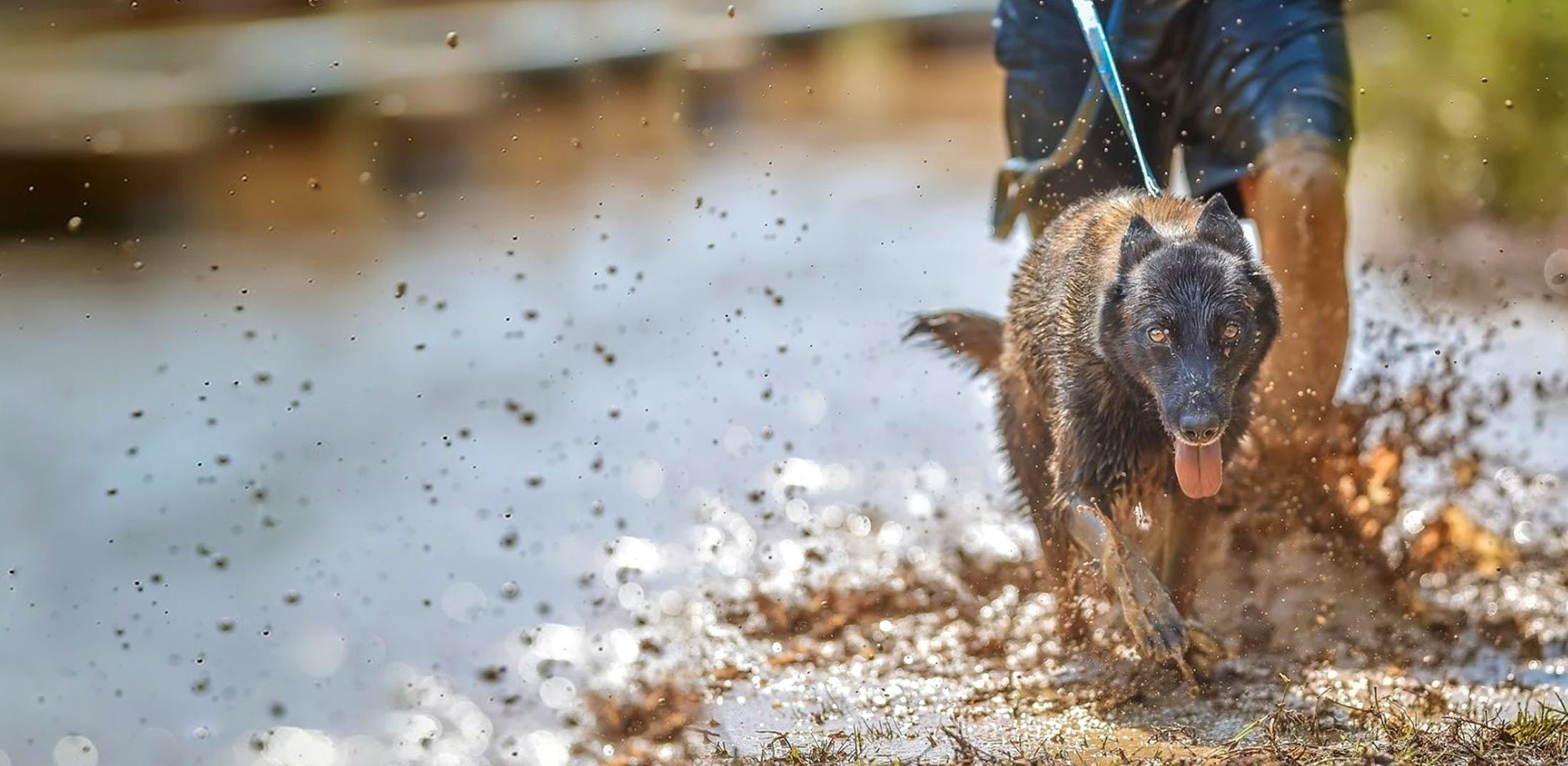 Malinois running in the mud with human holding the leash