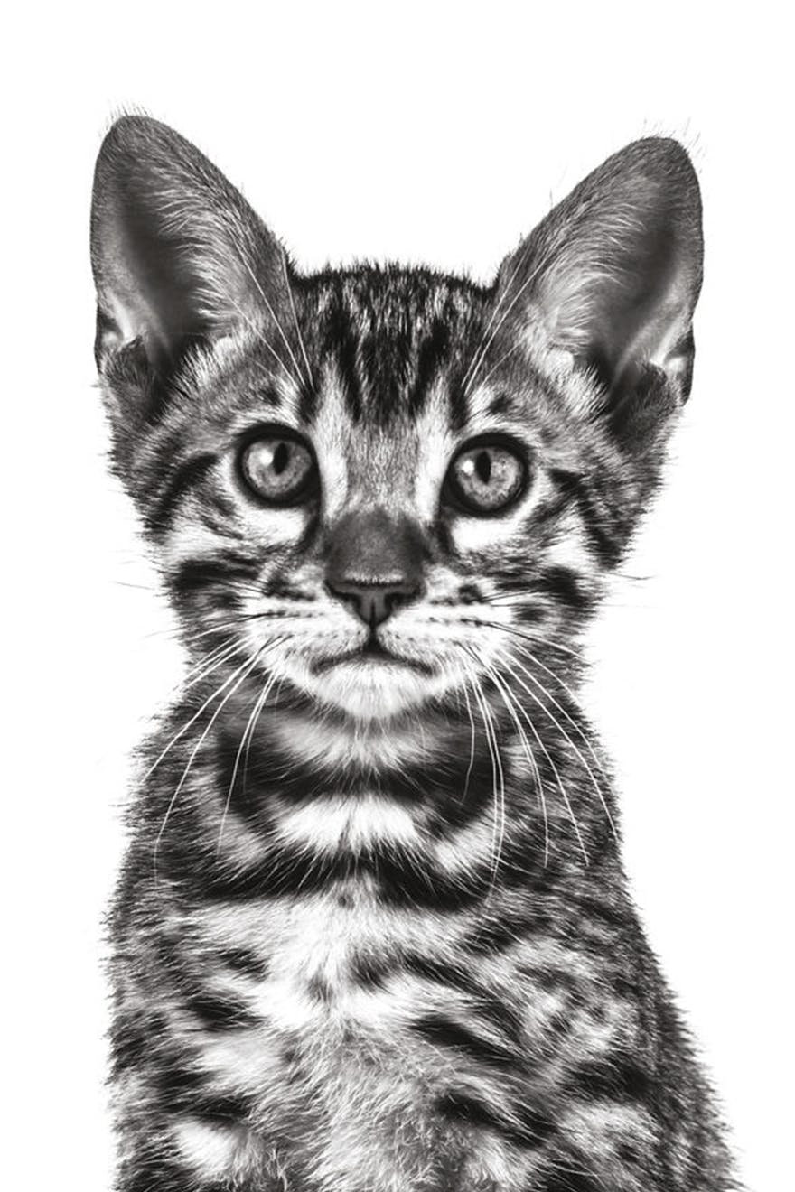 Bengal kitten in black and white on a white background