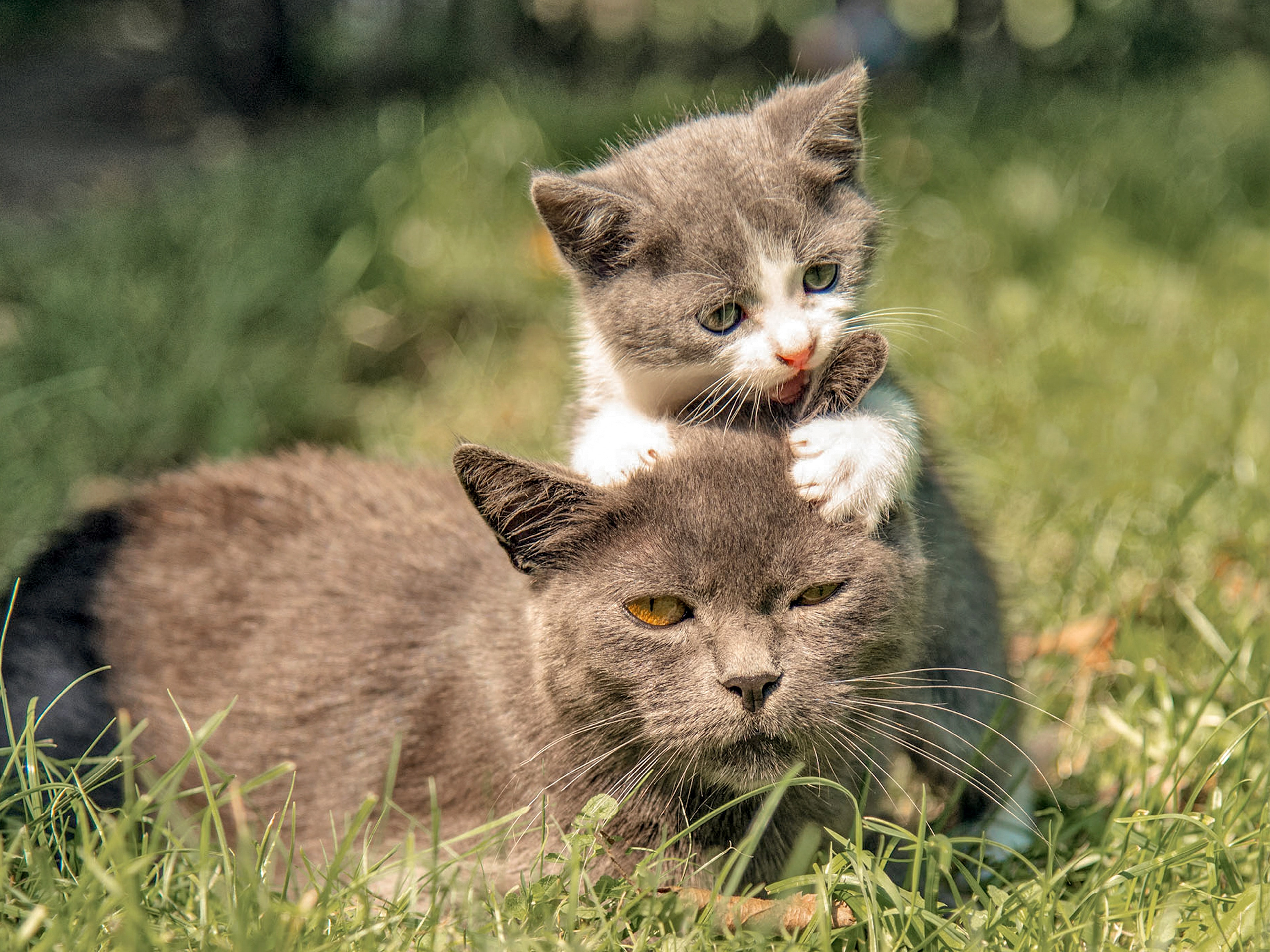 Mother and kitten playing together outside in grass