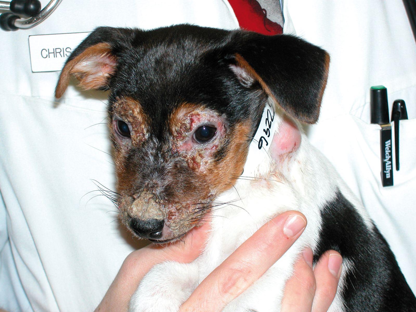 Croûtes et érosions sur la face d'un chiot souffrant de cellulite juvénile.