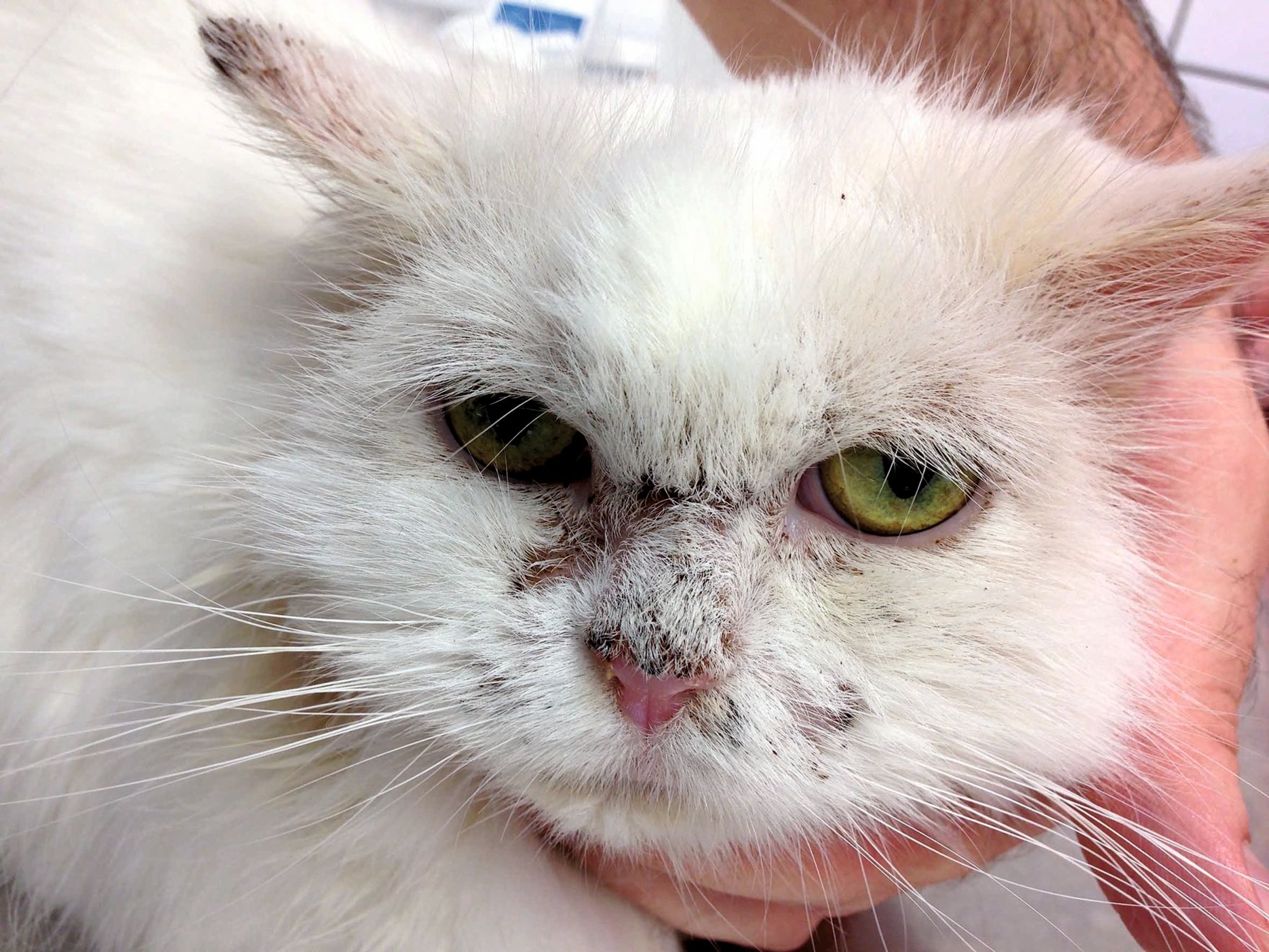 A DSH cat with nasal erythema, crusting and hair loss. The diagnosis was pemphigus foliaceus.