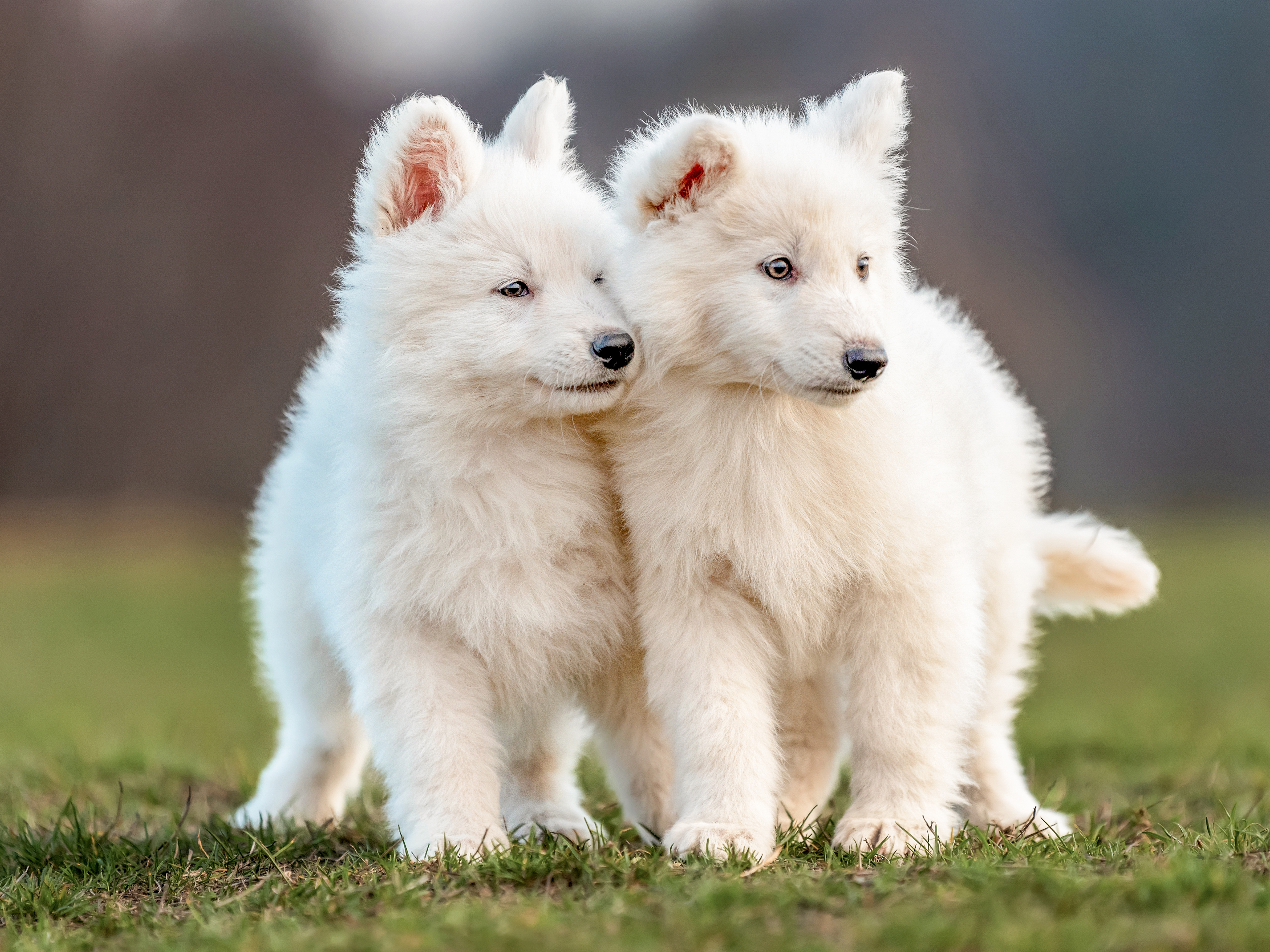 White Swiss Shepherd Dog puppies walking together outside