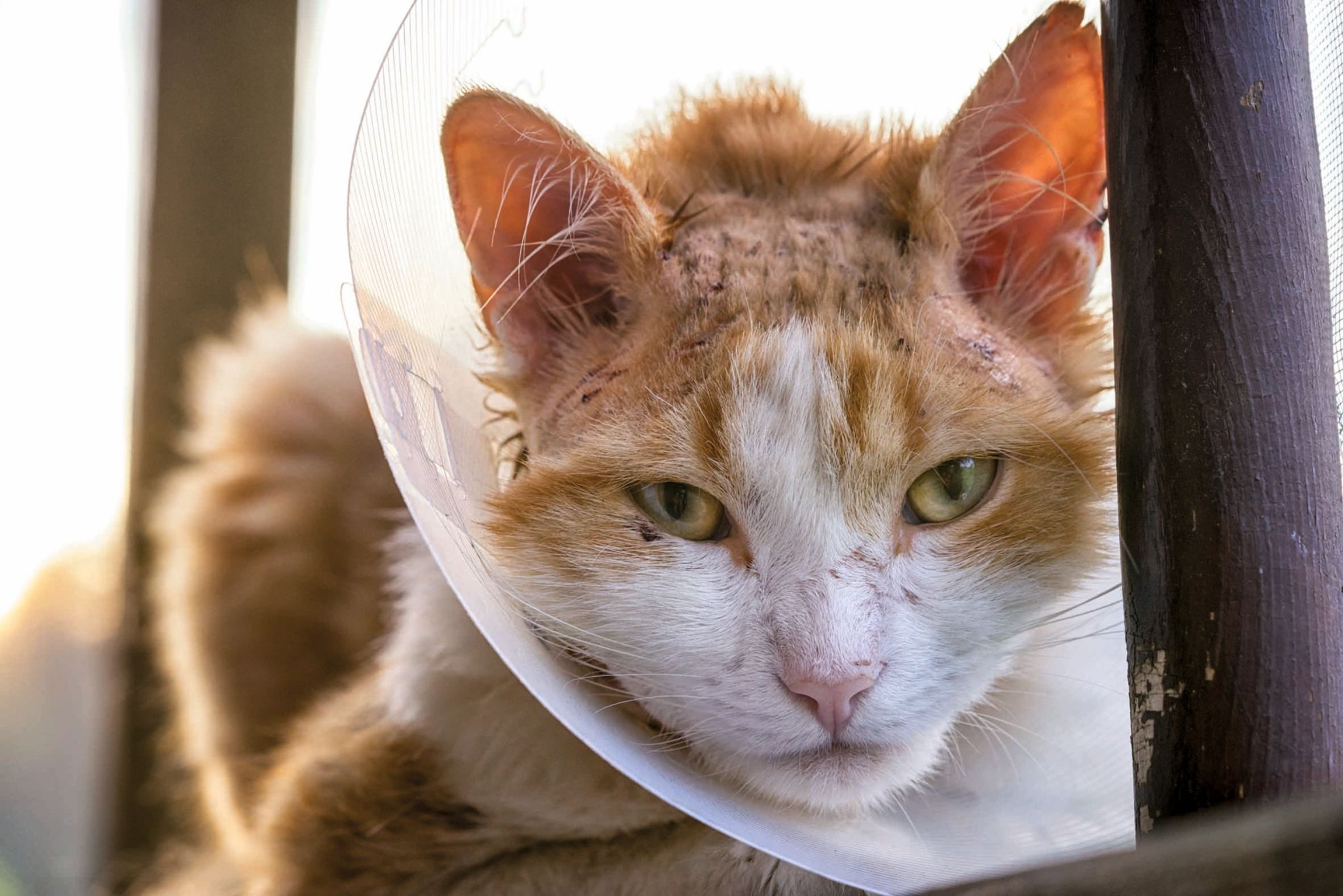 An Elizabethan collar may be useful to prevent a cat from inflicting self-trauma due to pruritus resulting from a skin problem.