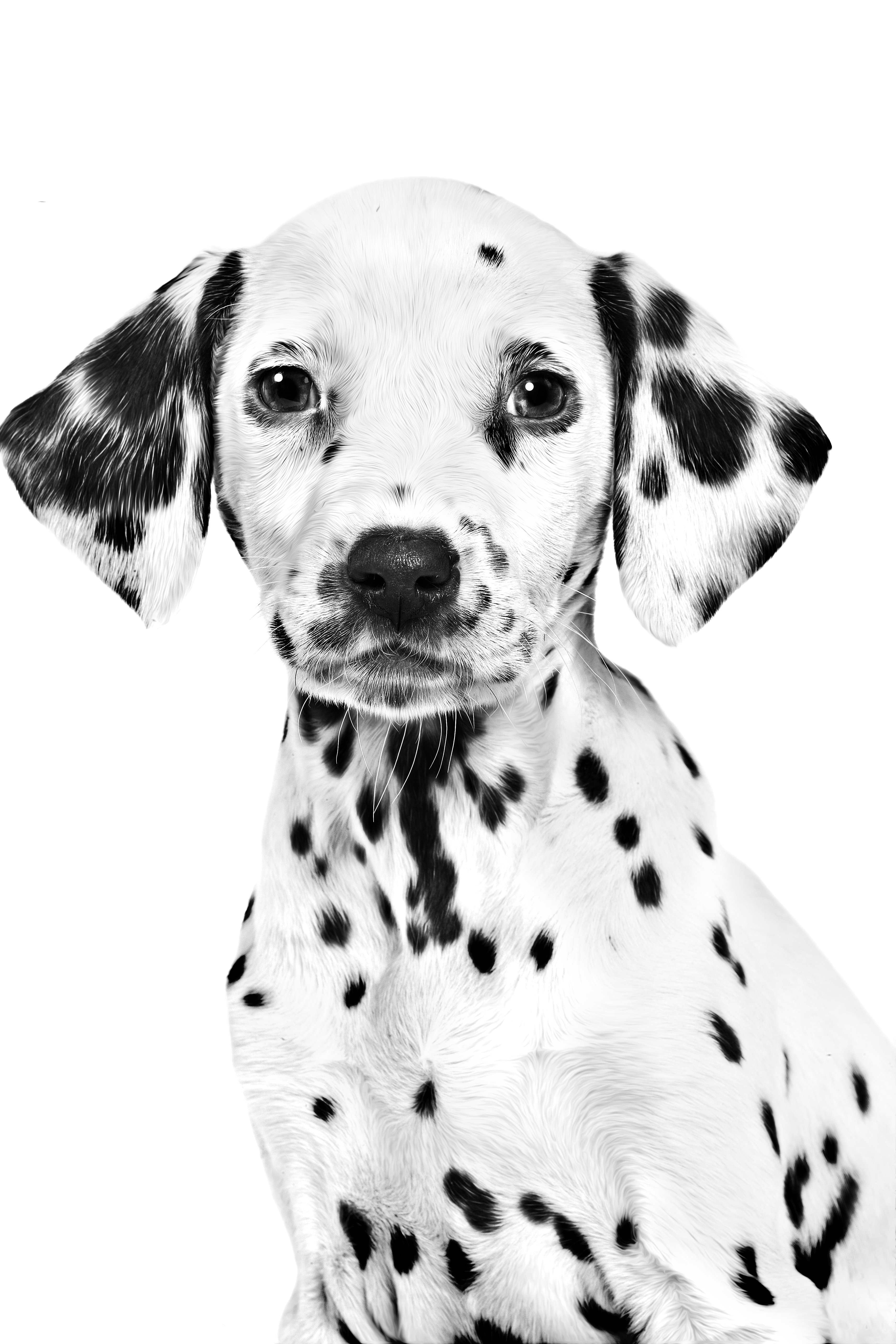 Dalmatian puppy in black and white on a white background