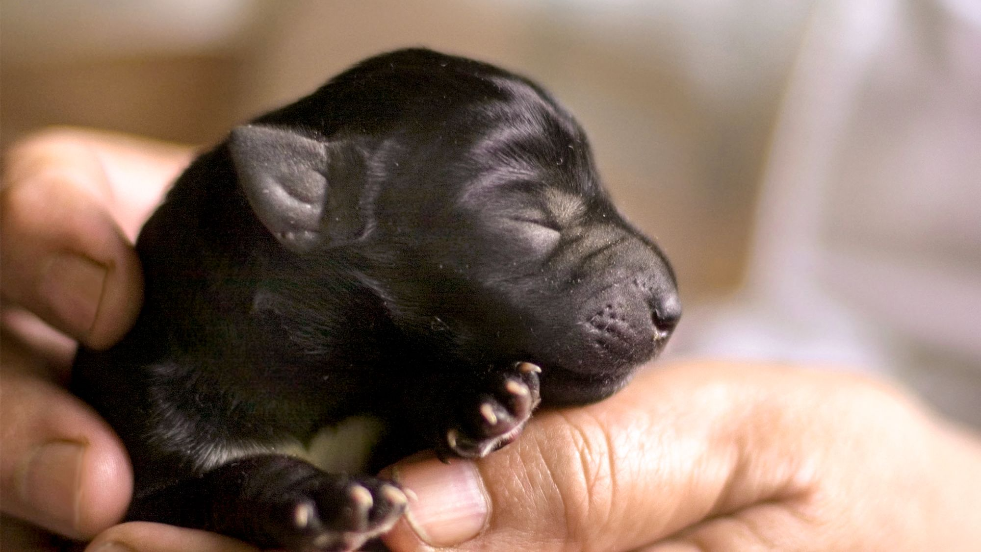 Newborn puppy being held by breeder