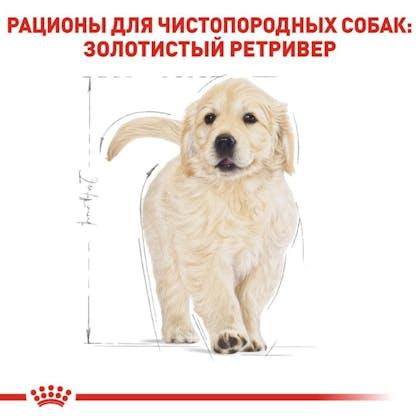 RC-BHN-PuppyGoldenRetriever_5-RU.jpg