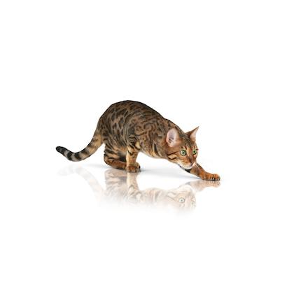 Pure Feline 2012 - Images - PUREF-N03-CAT
