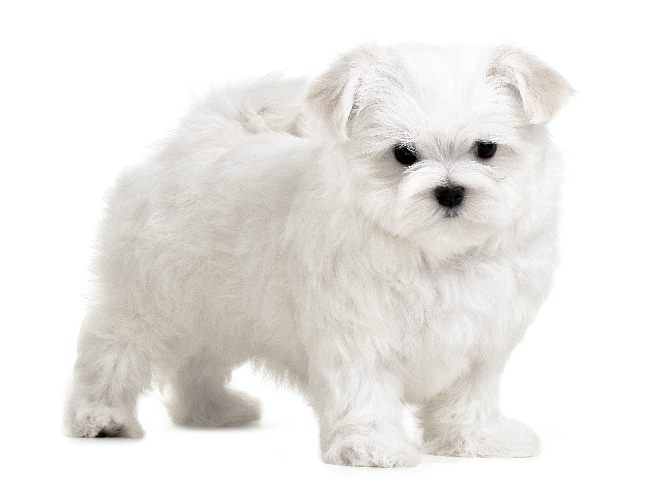 Maltese - Royal Canin