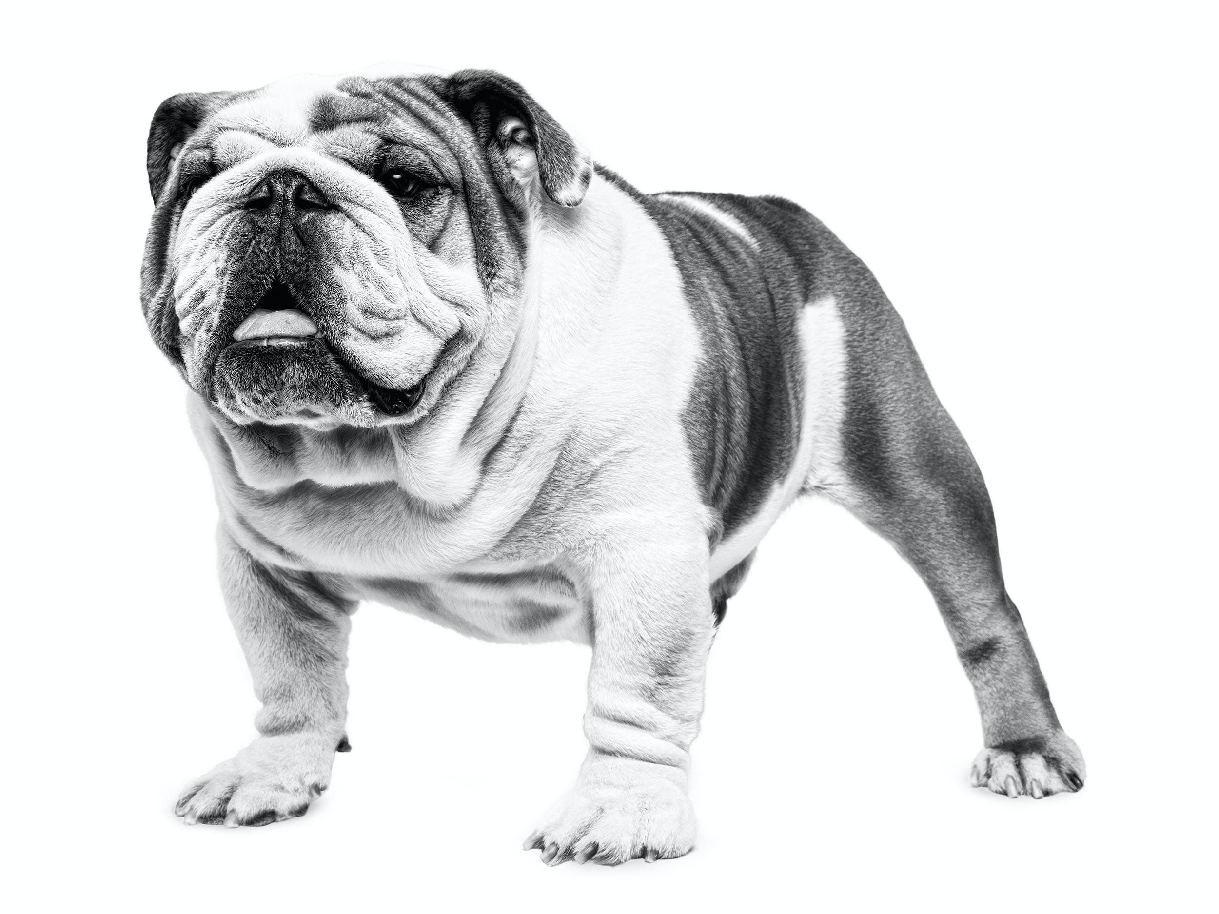 englische bulldogge - royal canin