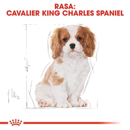 RC-BHN-PuppyCavalierKingCharles-CM-EretailKit-4-pl_PL