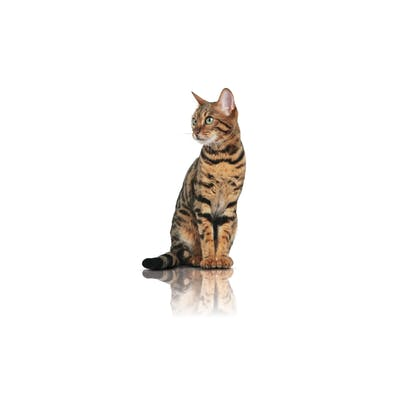 Pure Feline 2012 - Images - PUREF-N02-CAT