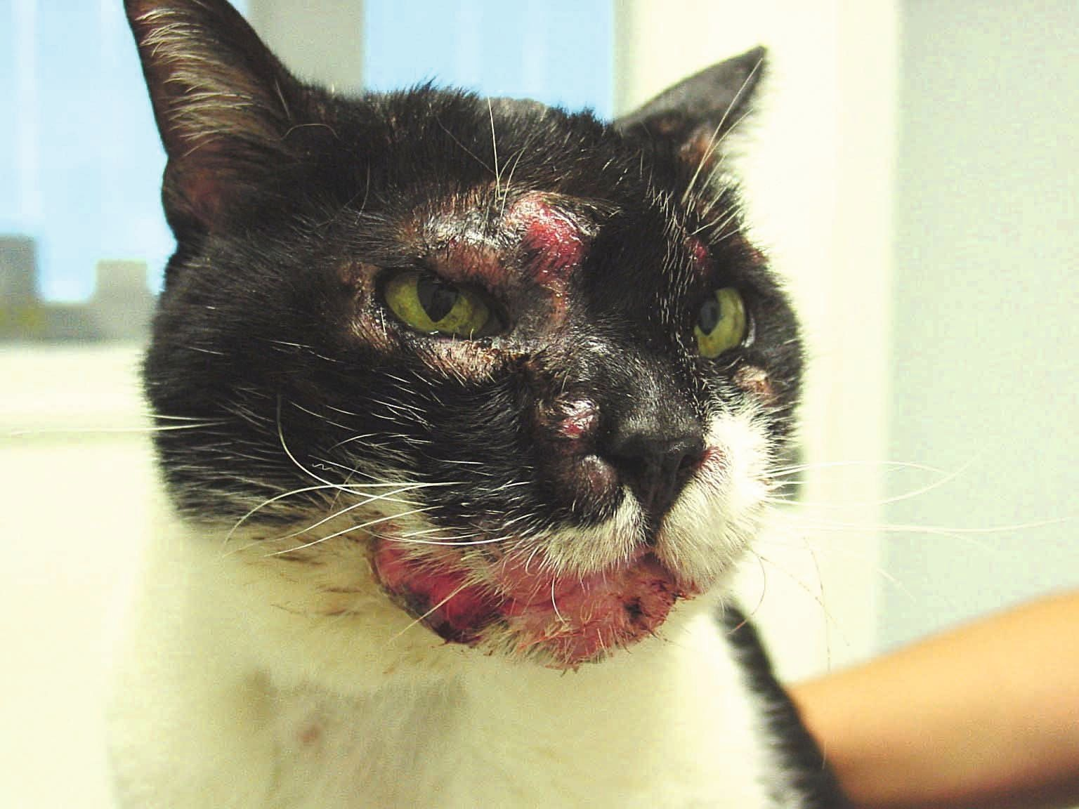 CNEL in a cat with facial distribution of multiple adjacent to coalescing plaques and nodules. The skin is partially alopecic, eroded and ulcerated, especially over the right eye and mandibular lip fold.