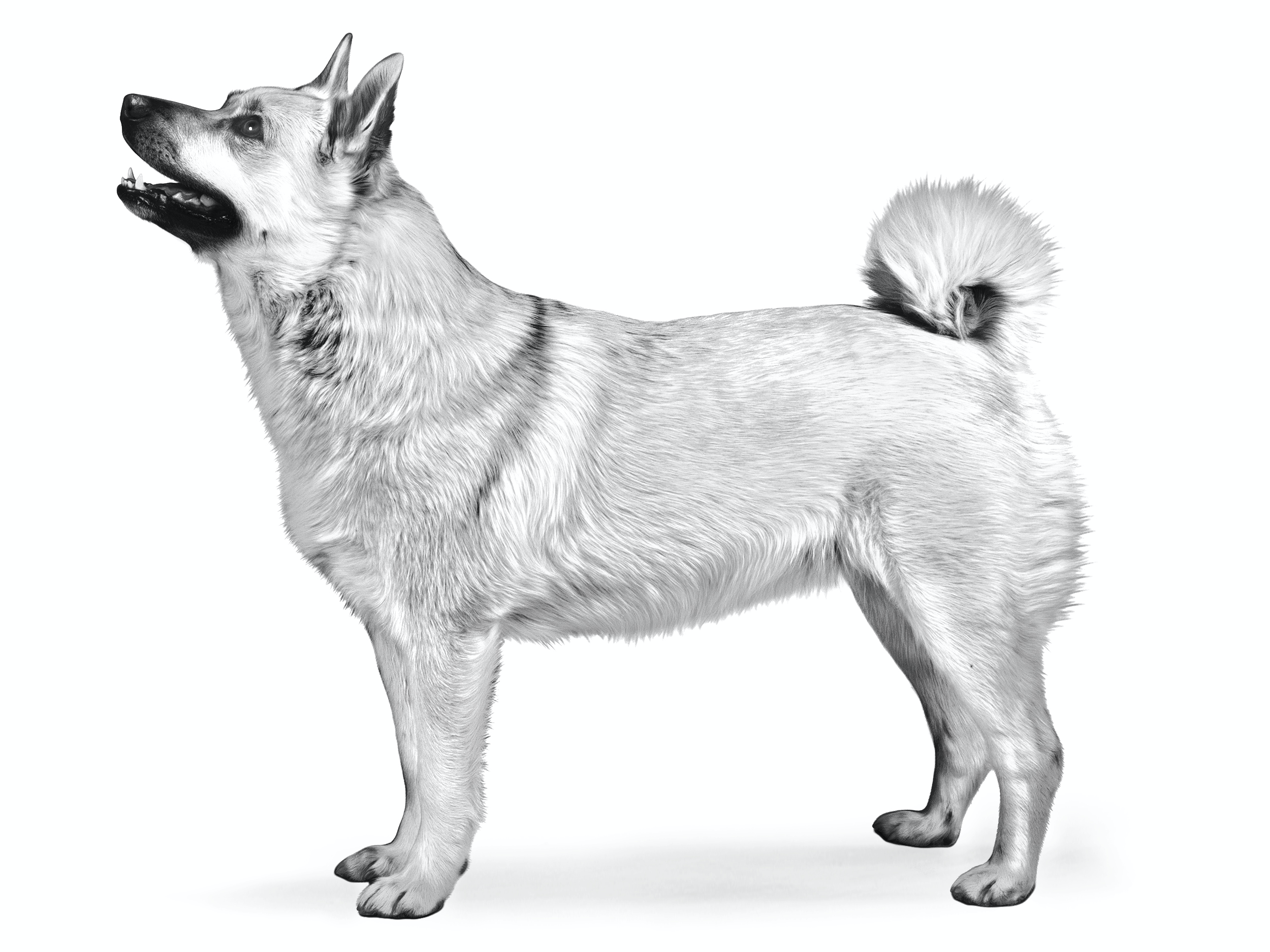 Norwegian Buhund Royal Canin