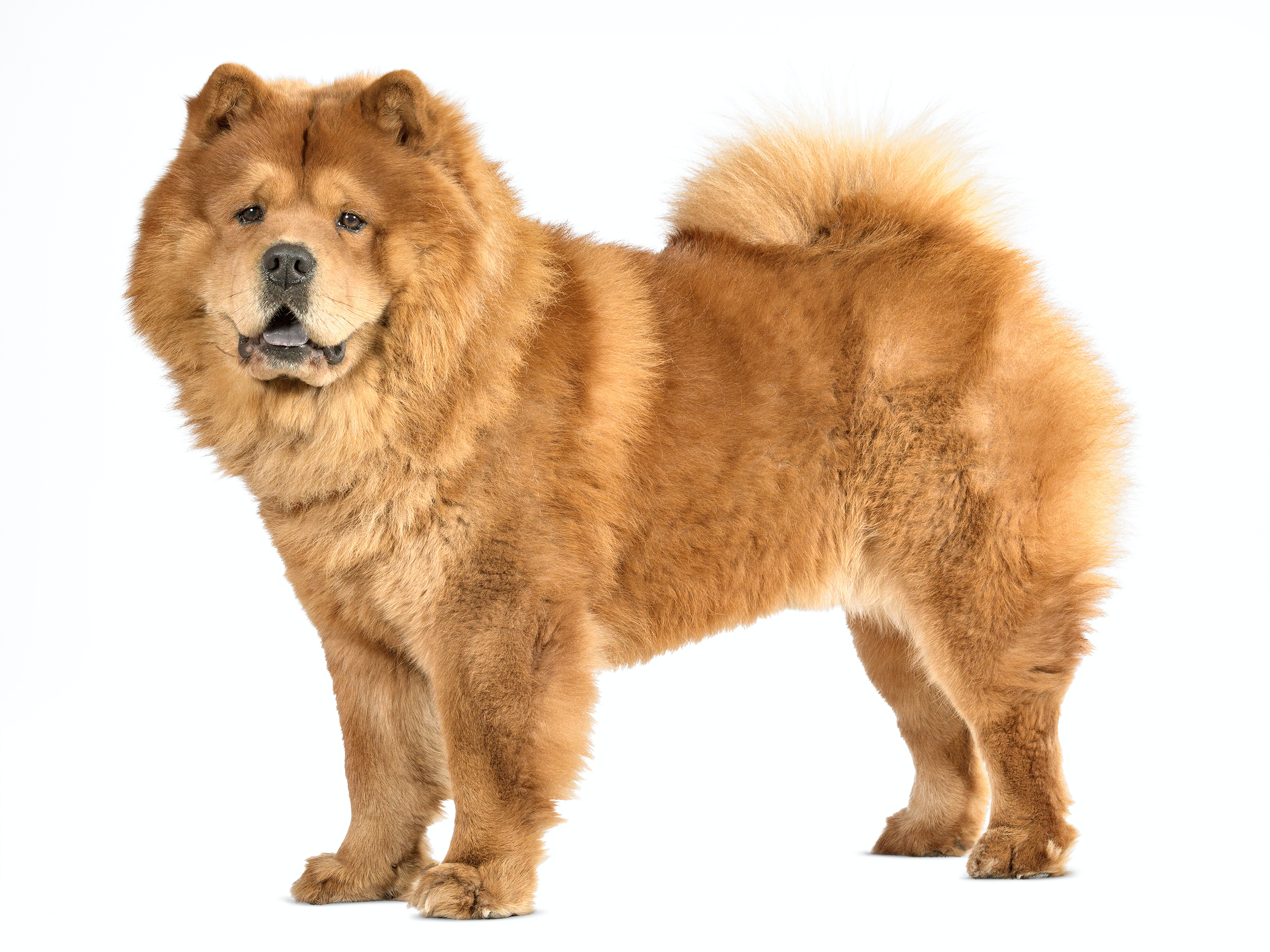 Daftar Ras Anjing Royal Canin