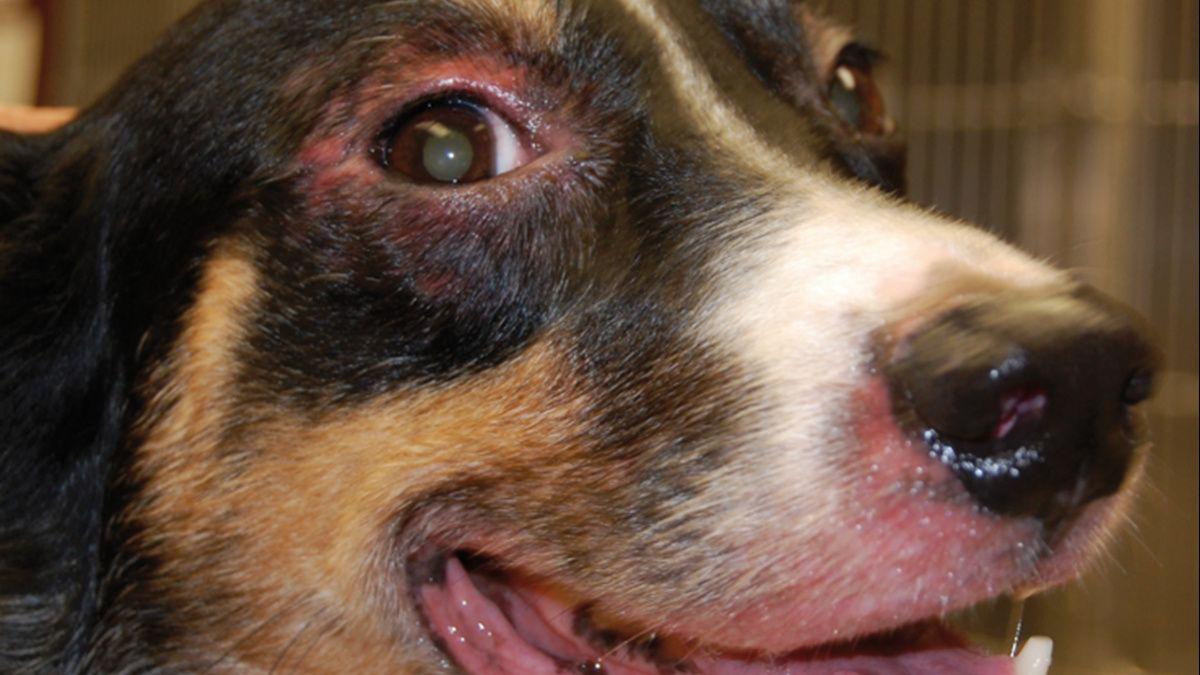 Zapalenie skóry przestrzeni międzypalcowych i/lub opuszek KOŃCZYN (pododermatitis) u psów