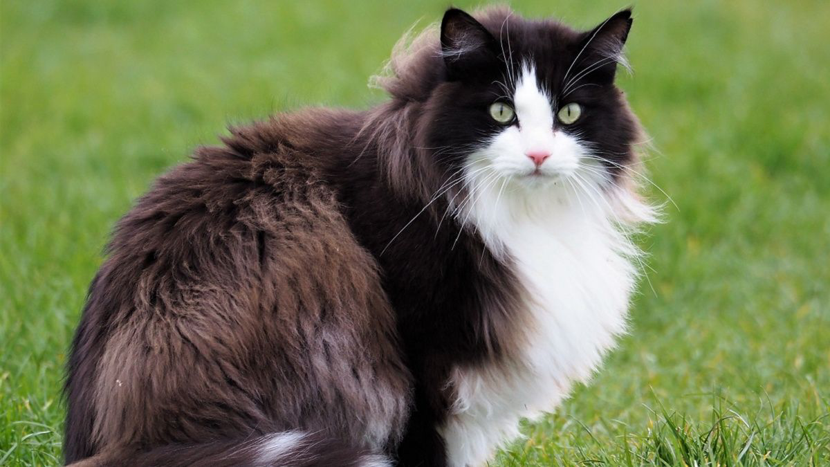 Prévalence des signes digestifs chroniques chez le chat