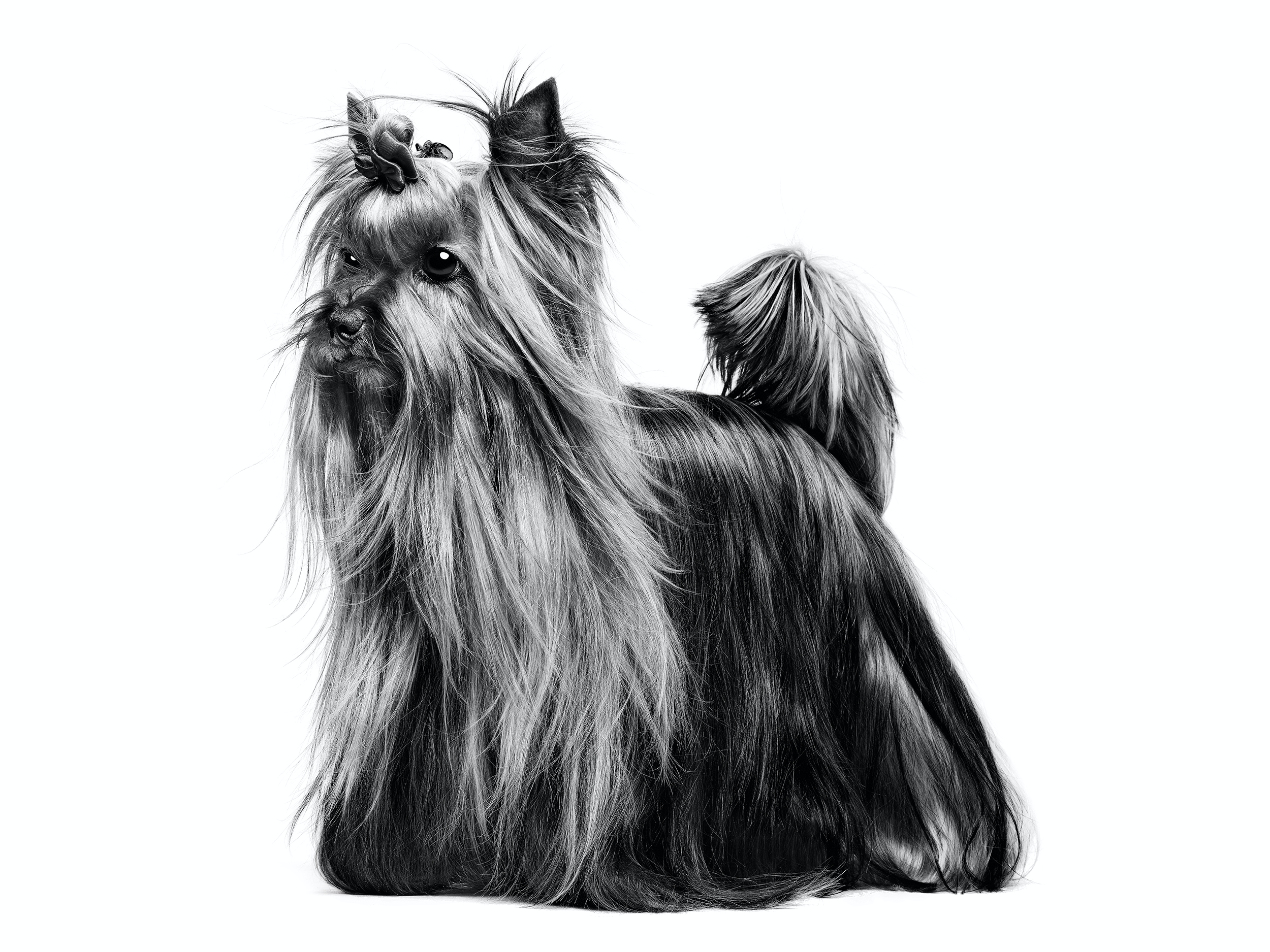 Yorkshire Terrier Royal Canin